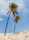 Ett par av palmträd royaltyfri foto
