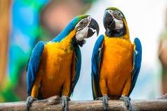 Ett par av papegojor arkivfoto