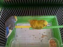 Ett par av papegojor royaltyfria foton