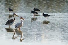 Ett par av pelikan som kopplar av i vattnet Royaltyfri Foto