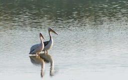 Ett par av pelikan som kopplar av i vattnet Arkivfoto