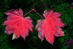 Ett par av röda höstsidor Arkivfoto