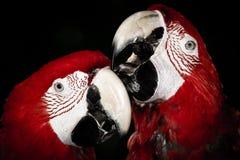 Ett par av röda papegojor royaltyfri fotografi