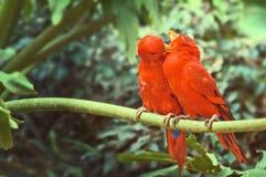 Ett par av röda papegojor som sitter på en filial arkivfoton