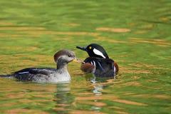 Ett par av simning för med huva merganser i dammet royaltyfria foton
