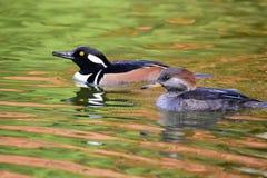 Ett par av simning för med huva merganser i dammet royaltyfri foto