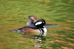 Ett par av simning för med huva merganser i dammet royaltyfri fotografi