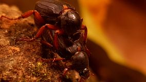 Ett par av skalbaggar Arkivfoto