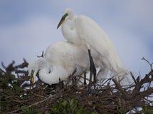 Ett par av stora vita Egrets som bygger deras rede Arkivbild