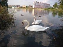 Ett par av stora vita svanar royaltyfri foto