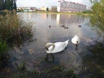 Ett par av stora vita svanar arkivbilder