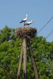 Ett par av storkar i ett rede på en pol Arkivfoto
