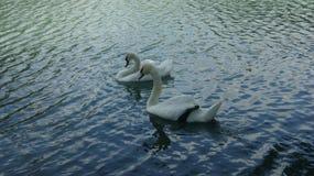 Ett par av svanen på den blåa sjön royaltyfri fotografi