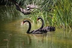 Ett par av svarta svanar arkivfoto