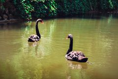 Ett par av svarta svanar royaltyfri bild