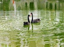 Ett par av svarta svanar arkivbilder