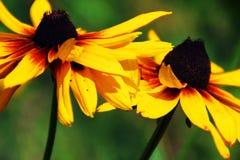 Ett par av svarta synade Susan blommor arkivbild