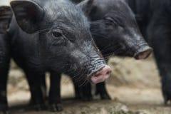 Ett par av svin Fotografering för Bildbyråer