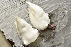 Ett par av synkroniserar att simma svanar arkivfoto