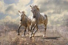 Ett par av vita hästar Arkivbild
