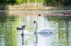 Ett par av vita svanar svävar i en sjö i företaget av en anka royaltyfri foto