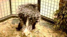 Ett piggsvin bakifrån i en zoo arkivfilmer