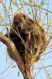 Ett piggsvin i träd Arkivbild