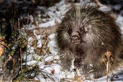 Ett piggsvin i vildmark Nattligt djurt nederlag i vinterskog arkivbilder