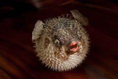 Ett piggsvinfisk Arkivbild