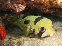 Ett piggsvinPufferfisk Arkivbild