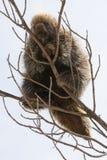 Ett piggsvinsammanträde på en trädfilial Arkivfoton