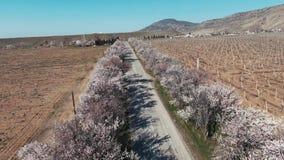 Ett quadrocopterskott av en gammal väg med en blomma mandel som bilen rider på lager videofilmer