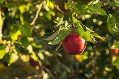 Ett rött äpple i ett träd arkivfoto