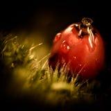 Ett rött bär för makro med regndroppar Julian Bound Arkivfoto