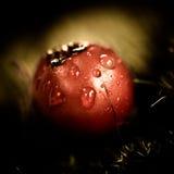 Ett rött bär för makro med regndroppen Julian Bound Royaltyfri Bild