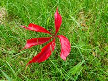 Ett rött blad av dekorativa druvor ligger på det gröna gräset Royaltyfri Foto