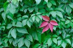 Ett rött blad av lösa druvor mot en bakgrund av gröna sidor Arkivbilder