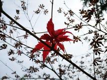 Ett rött blad i filialen i nedgång arkivbilder