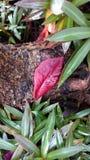 Ett rött blad på trädet rotar Arkivfoton