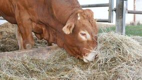 Ett rött brunt Limousin tjuranseende i lya och ätahöet Eco lantbrukbegrepp arkivfilmer