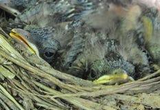 Ett rede med fåglar Royaltyfria Bilder