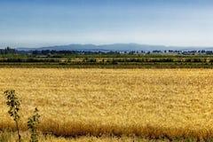 Ett rikt och tätt fält mycket av råg, vete eller korn är synligt nära gulingen betar med en tät skog i bakgrunden arkivfoton