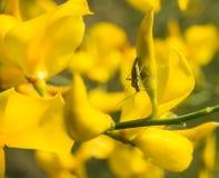 Ett riktigt fel på en blomma för spansk kvast royaltyfri bild