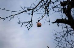Ett ruttet äpple som hänger från en trädfilial Arkivfoto