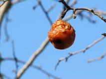 Ett ruttet äpple väger på ett träd royaltyfri bild
