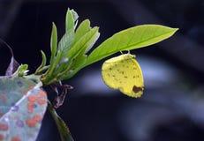 Ett sömnigt orange fjärilsnederlag under ett blad fotografering för bildbyråer