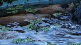 ett sötvattensfiskdamm i vändkretsarna stock video
