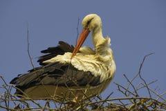 Ett sammanträde för vit stork på redet Royaltyfria Bilder