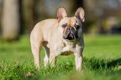 Ett sandigt anseende för fransk bulldogg som ser kameran arkivfoton