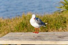 Ett seagullanseende på en trätabell framme av havet royaltyfri foto